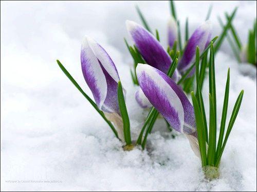 kak-vyrastit-cvety-k-8-marta